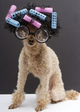 Big Glasses, Hair, Curlers and On A Poodle Stock Image