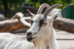 Big goat in the animal zone of Skansen Stock Photo