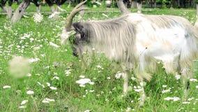 Big goat stock footage