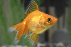 Big gold fish Stock Images