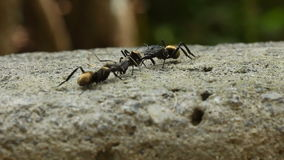 Big Golden Ants Fighting stock video