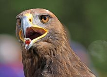 Big Golden Eagle with a yellow beak and bright eyes Royalty Free Stock Image