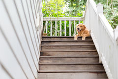 A big golden retriver Royalty Free Stock Photos