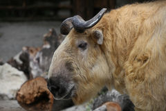 Big golden takin. With black horns Stock Image