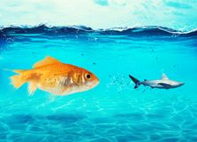 Big goldfish attacks a scared shark in the ocean. concept of bravery. Big goldfish attacks a scared shark in the deep ocean. concept of bravery Royalty Free Stock Photography