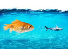 Big goldfish attacks a scared shark in the ocean. concept of bravery. Big goldfish attacks a scared shark in the deep ocean. concept of bravery Royalty Free Stock Photos