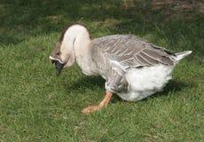Big Goose walking on green grass Royalty Free Stock Image
