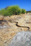A big gopher snake slithering on the ground Stock Image