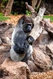 Big gorila. A big gorilla silver back male in the zoo stock photo
