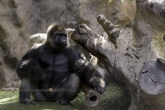 Big gorila. A big gorilla silver back male in the zoo royalty free stock images
