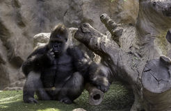 Big gorila. A big gorilla silver back male in the zoo stock images