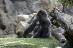 Big gorila. A big gorilla silver back male in the zoo royalty free stock photos