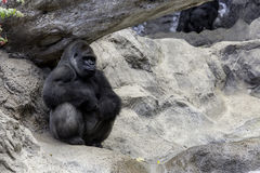 Big gorila. A big gorilla silver back male in the zoo royalty free stock photography