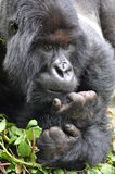 Big Gorilla Stock Images