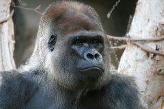Big Gorilla Face Stock Image
