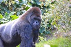 Big gorilla Royalty Free Stock Photography