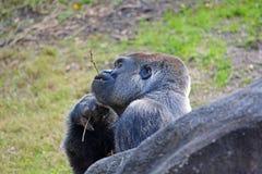 Big gorilla Royalty Free Stock Photo