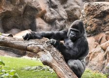 Big gorilla relaxes Royalty Free Stock Photo