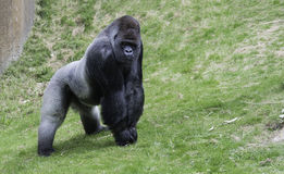 Big gorilla showing his power Stock Images