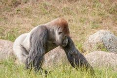 Big gorilla Stock Image