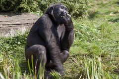 Big  gorilla in the zoo. Big m gorilla sits in the sun in a zoo for monkeys Royalty Free Stock Images
