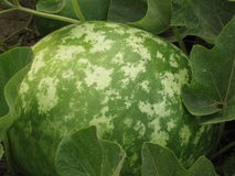 Big gourd Royalty Free Stock Photography