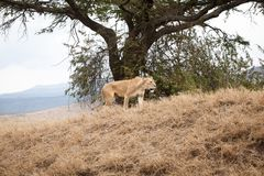 Big and gracious lioness Panthera Leo stock photo