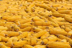 Big Grains of ripe corn Royalty Free Stock Photos