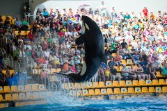 Big grampus jumps out of the water during a show in the zoo in Tenerife, Spain Royalty Free Stock Photography