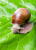 The big grape snail Royalty Free Stock Photography