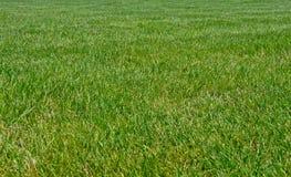 Big grass Royalty Free Stock Photo