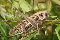 Big grasshopper. With wings sit on grass Royalty Free Stock Photo