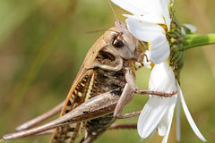 Big grasshopper Stock Photography