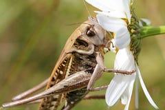 Big grasshopper. Eat white chamomile Stock Photography
