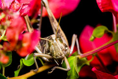 Big Grasshopper Royalty Free Stock Images