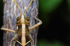Big Grasshopper Stock Images