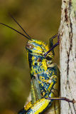 Big Grasshopper Stock Image