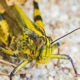 Big Grasshopper Stock Photos