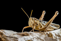 Big Grasshopper Royalty Free Stock Image