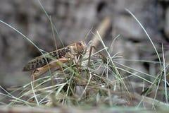 Big Grasshopper on the Grass Stock Photo