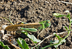 The big grasshopper sitting on the ground Royalty Free Stock Images