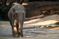 Big, gray animal standing in front of trees. A big, grey elephant standing in front of trees Stock Photo