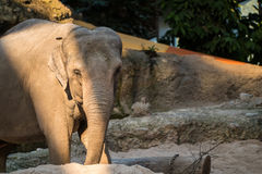 Big, gray animal standing in front of trees. A big, grey elephant standing in front of trees Royalty Free Stock Photo