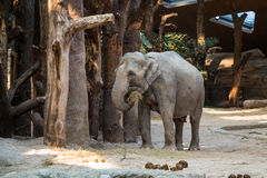 Big, gray animal standing in front of trees with straw in its tr. A big, gray elephant standing in front of trees with straw in its trunk Royalty Free Stock Images
