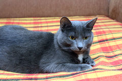 Big gray cat Royalty Free Stock Images