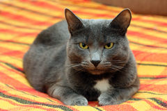 Big gray cat. Portrait of big gray cat at home Royalty Free Stock Photo