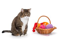 Big  gray cat and a basket of thread Royalty Free Stock Image