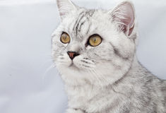 Big gray cat Royalty Free Stock Image