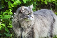 Big gray cat with long hair Royalty Free Stock Images