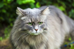 Big gray cat with long hair in the garden Stock Image